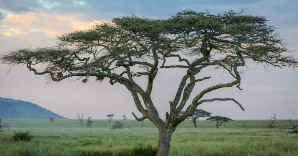 Lessons From the Acacia Tree